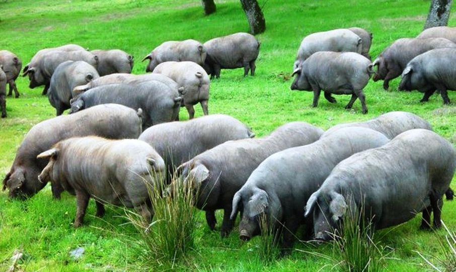 Dehesa-cerdo-iberico-El-Portal-del-Chacinado