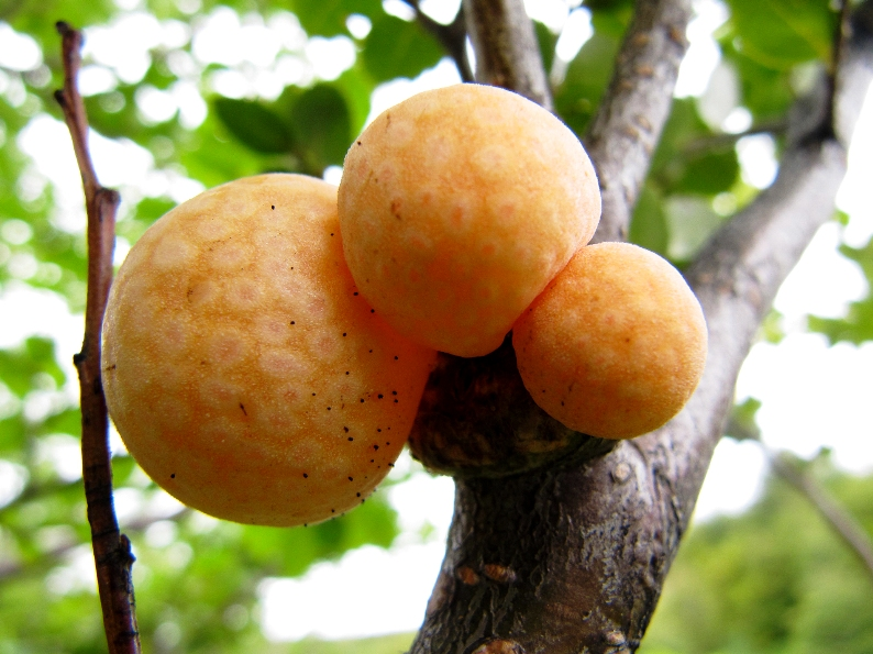 Orange-colored galls, such as these pictured in 2010, from the beech tree forests of Patagonia have been found to harbor the yeast that makes lager beer possible. Five hundred years ago, in the age of sail and when the trans-Atlantic trade was just beginning, the yeast somehow made its way from Patagonia to the caves and monastery cellars of Bavaria where the first lager beers were fermented. University of Wisconsin-Madison Genetics Professor Chris Todd Hittinger and colleagues from Portugal, Argentina and the University of Colorado describe the lager yeast, whose origin was previously unknown. (Photo by Diego Libkind, Institute for Biodiversity and Environment Research, Bariloche, Argentina)